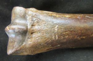 HORSE BONE SHOWING CARNIVORE PREDATION - PLEISTOCENE, NORTH SEA